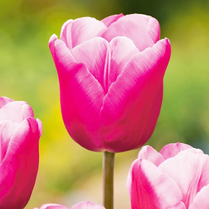Schnittblumen, Jumbo Pink