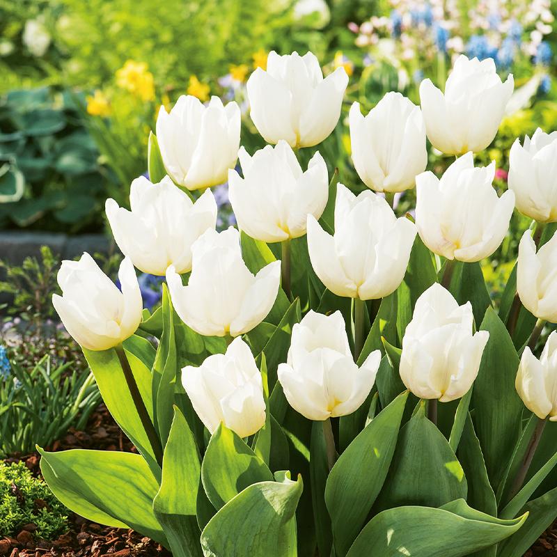 Schnittblumen, White Prince